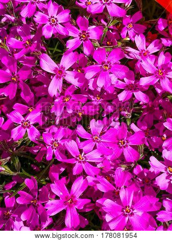 Bright Purple Clematis Flowers in a springtime Stock Photo