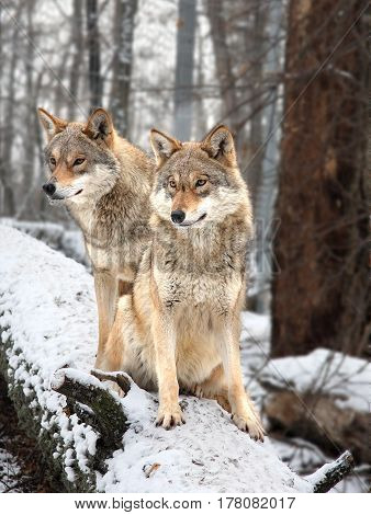 The married couple of wolves sits on a snow-covered log