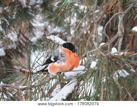The bullfinch with a red breast sits on a pine branch