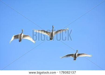 Three white swans fly against the background of the blue sky