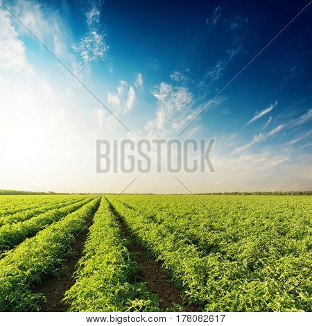 good sunset in blue sky with clouds over field with green bushes of tomatoes