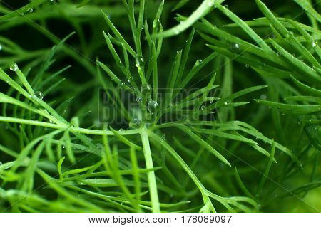 green background, dill, dew drops, branches of dill, water droplets on the plant, fennel with drops of dew