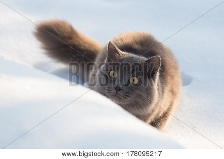 Portrait Of Fluffy Gray Cat Slinks And Hunts In Snow