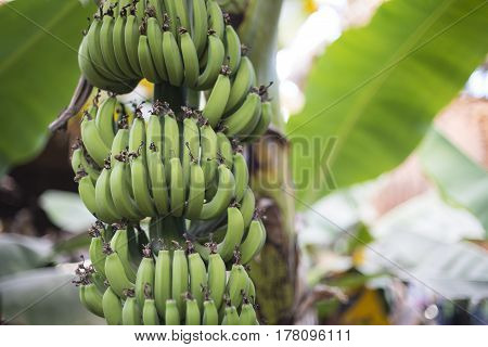 Green Banana Plantation. Many Green Bananas