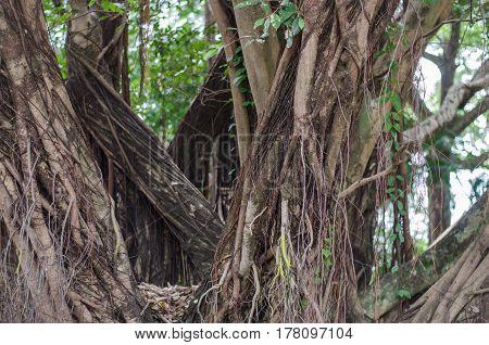 Banyan Big trees near high garden, green