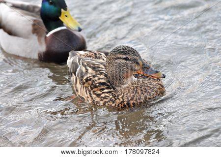 Pair of Mallard Ducks swimming together in water
