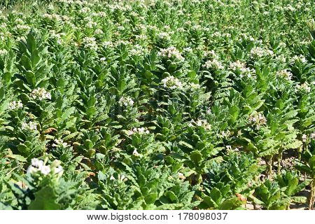 Group of beautiful white flowers on a green tobacco stalks in a field