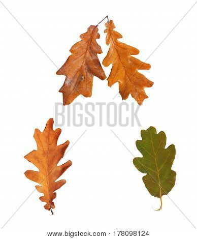Set Dried Autumn Oak Leaves Isolated On Background