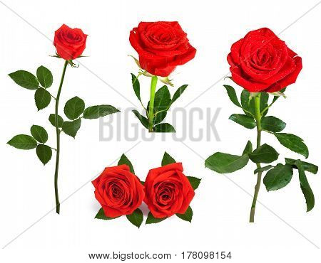 Set Of Beautiful Red Roses For Design Isolated On  Background