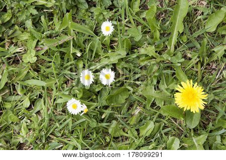 Grass With Daisies Dandelions and Weeds Overhead