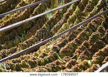 close-up of golden tobacco leaves strung on a rope to dry in the open air