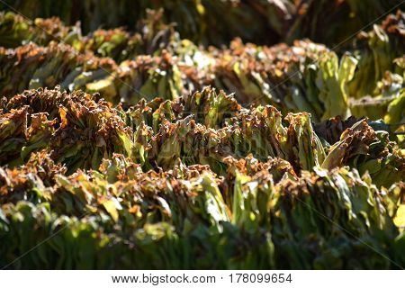 close-up of green tobacco leaves strung on a rope to dry in the sun