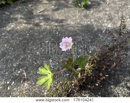 Geraniaceae of wild small flowers in spring