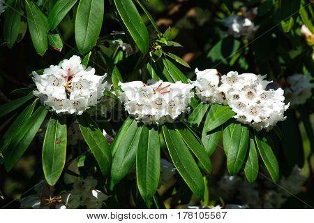 Azalea flowers in the garden. Rhododendron hybr Roza stevenson
