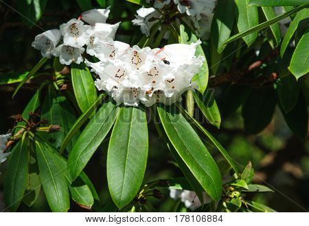 White Azalea flowers in the garden. Rhododendron hybr Roza stevenson