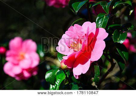 Pink camellia flower blossom on sunny garden