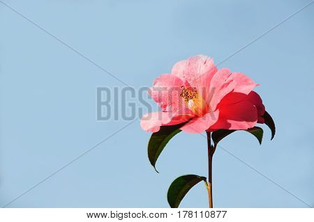 Pink Camelia Flower blossom on a blue background