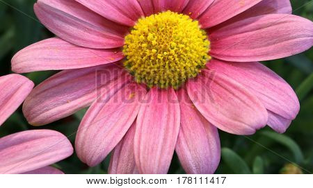 Large Purple Daisy With Large Petals