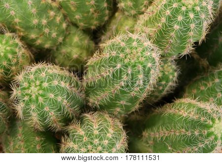 Background Of Thorny Cactus With Many Needles