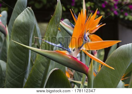 Beautiful Strelitzia Flowers in Tenerife Spain with selective focus.