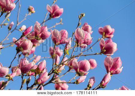 Beautiful purple magnolia flowers in the spring season on the magnolia tree