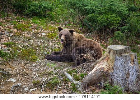 Brown bear rests in the forest. Animals