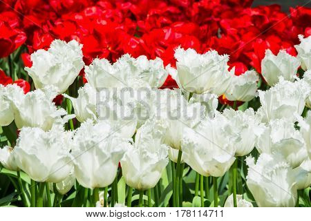 Blooming white and red tulips in lawn selective focus in Keukenhof park in Netherlands Europe