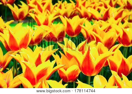 Blooming yellow-red tulips in lawn selective focus in Keukenhof park in Netherlands Europe