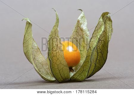 open yellow physalis closeup on gray background