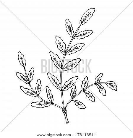 Indian Frankincense Salai or Boswellia serrata vintage illustration.Olibanum-tree (Boswellia sacra) aromatic tree. Ink hand drawn herbal illustration.
