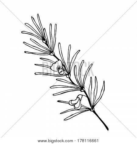 Rooibos tea plant leaf flower. Hand drawn ink sketch illustration lineart. African rooibos tea hot drink. Herbal tea. Isolated on white background.