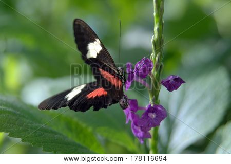 Heliconius melpomene, the postman butterfly, common postman, postman black with red and white wings background