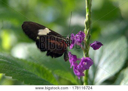 Heliconius, melpomene, postman butterfly, common postman butterfly on a flower macro