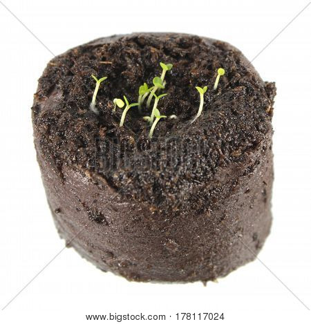 Seedling of balm mint (Melissa officinalis) in clod of soil isolated on white background