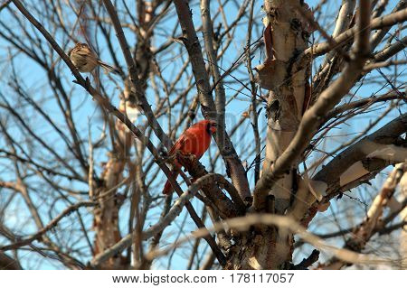 male red northern cardinal perched on a tree branch