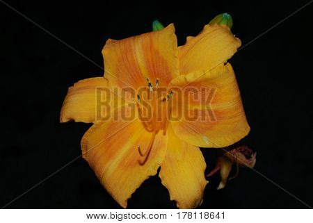Garden with a blooming orange daylily in the summer.