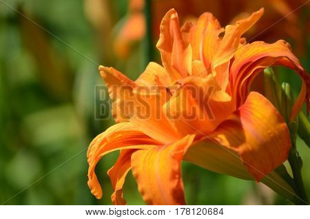 Garden with a brilliant orange daylily flowering.