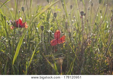 field red poppy in the rays of the setting summer sun