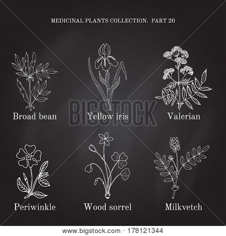 Vintage Collection Of Hand Drawn Medical Herbs And Plants, Broad Bean, Yellow Iris, Valerian, Periwi