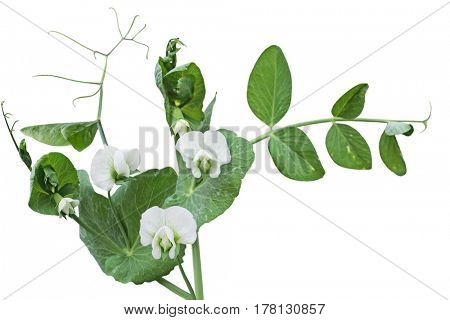 White peas flower vine isolated on white background