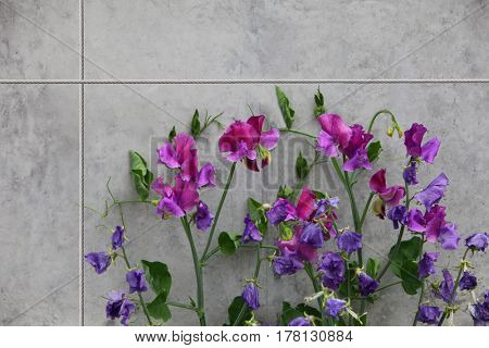 Hybrid Sweet Peas Flowers branch on the wall