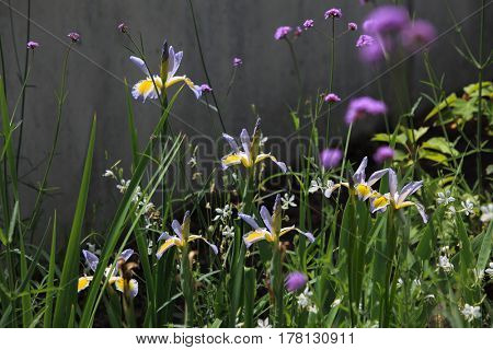 Beautiful Iris in flower garden spring time