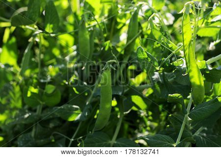 Background with peas. Thickets of green peas. through the thick green leaves and pods breaks the sunlight.