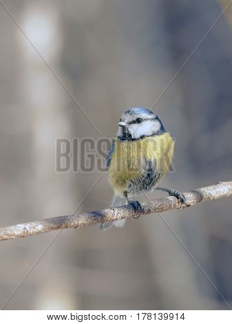 Titmouse With Beautiful Feathers
