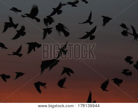 Flock of hooded crows flying at sunset