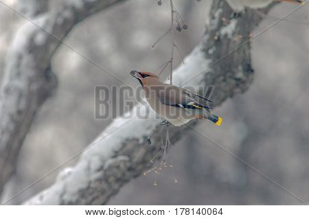 Bird The Waxwing Sits In Tree And Eats The Berries