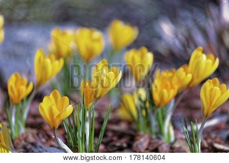 Close-up of saffron flowers. Macro greenery background with yellow crocuses. Shallow depth of field.
