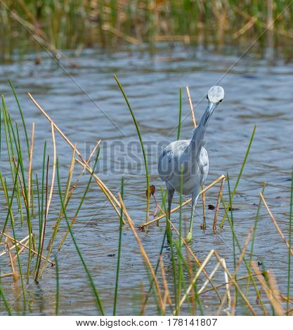 An amusing view of a young little blue heron wading toward the camera with its neck tilted