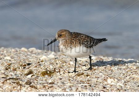 A Sanderling Calidris alba in breeding plumage on the beach with the blue ocean in the background