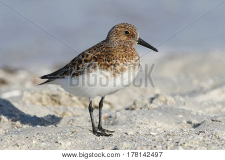 A Sanderling Calidris alba in breeding plumage on the beach with the blue ocean in the background poster